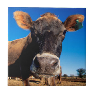 A Jersey cow being inquisitive Ceramic Tile