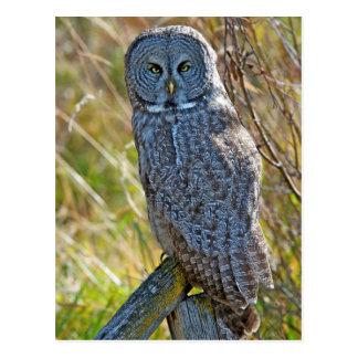 A juvenal Great Grey Owl1 Postcard