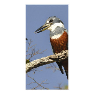 A Kingfisher Perches in a branch of a Tree Card
