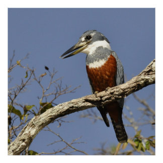 A Kingfisher Perches in a branch of a Tree Poster