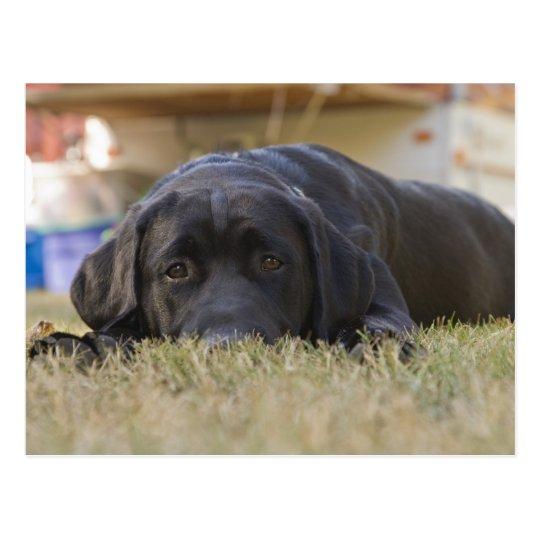 A Labrador Retriever puppy. Postcard