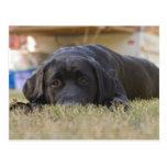 A Labrador Retriever puppy. Postcards