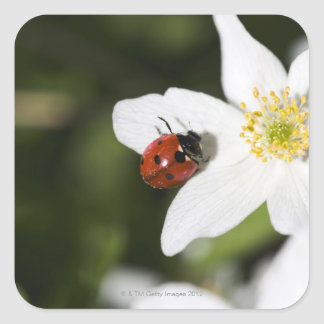 A ladybird on a wood anemone Stockholm Sweden Square Sticker