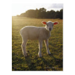 A Lamb at the Setting of the Sun Sweden Postcard