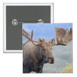 A large bull moose stands among willows 2 pin