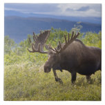 A large bull moose stands among willows ceramic tile