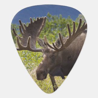 A large bull moose stands among willows guitar pick