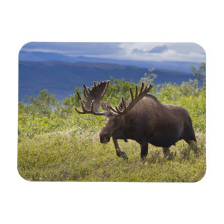 A large bull moose stands among willows magnet