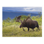 A large bull moose stands among willows postcards