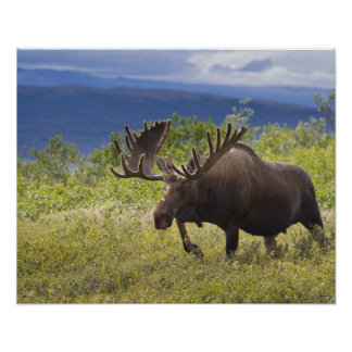 A large bull moose stands among willows posters