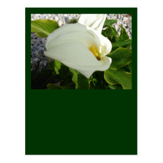 A Large Single White Calla Lily Flower Postcard