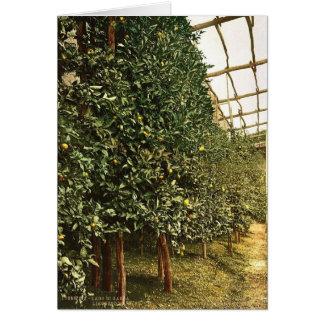 A lemon tree, Limone, Garda, Lake of, Italy vintag Greeting Card