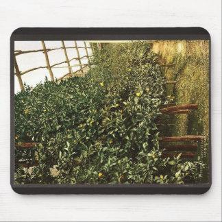 A lemon tree, Limone, Garda, Lake of, Italy vintag Mouse Pads