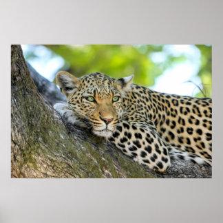 A Leopard's Gaze - Closeup  Print