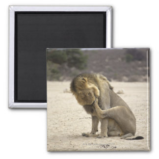A Lion cleaning its back paw, Kgalagadi 2 Inch Square Magnet