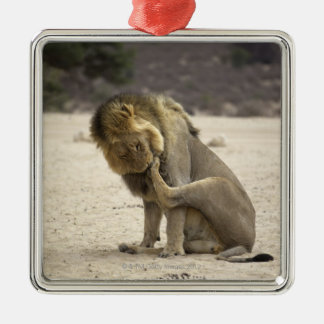 A Lion cleaning its back paw, Kgalagadi Metal Ornament