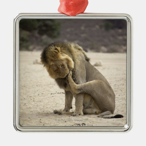 A Lion cleaning its back paw, Kgalagadi Christmas Ornament