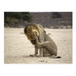 A Lion cleaning its back paw, Kgalagadi Post Cards