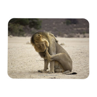 A Lion cleaning its back paw, Kgalagadi Rectangular Photo Magnet