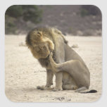 A Lion cleaning its back paw, Kgalagadi Square Stickers