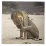 A Lion cleaning its back paw, Kgalagadi Tile