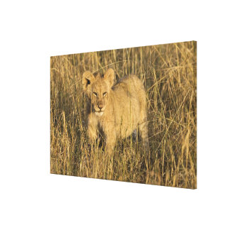 A lion cub laying in the bush in the Maasai Mara Canvas Print