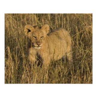 A lion cub laying in the bush in the Maasai Mara Poster