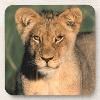 A Lion cub observes the camera from the long grass Beverage Coaster