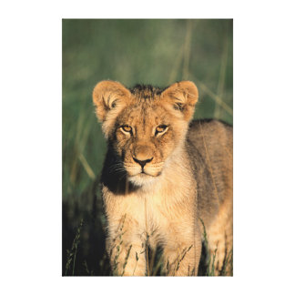 A Lion cub observes the camera from the long grass Stretched Canvas Print