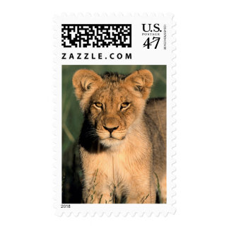 A Lion cub observes the camera from the long grass Stamp
