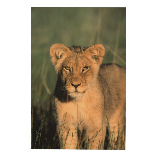 A Lion cub observes the camera from the long grass Wood Print