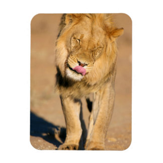 A Lion shaking its head and licking its mouth Rectangular Photo Magnet