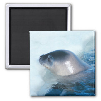 A little baby seal 2 inch square magnet