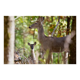 """""""A Little Surprize"""" Whitetail Deer Poster"""