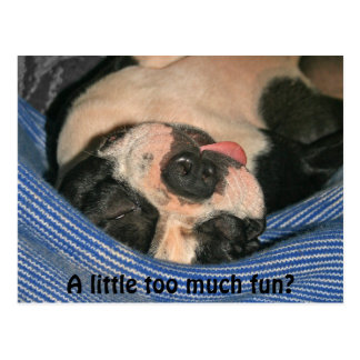A little too much fun? Boston Terrier Post Card