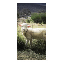 a little white lamb behind a fence in a field card