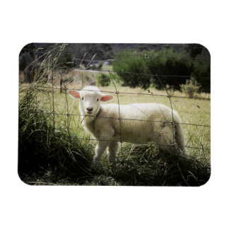 a little white lamb behind a fence in a field magnet