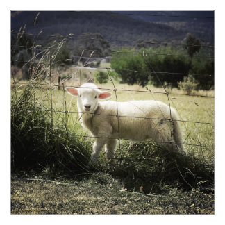 a little white lamb behind a fence in a field photographic print