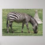 A Lone Zebra Poster