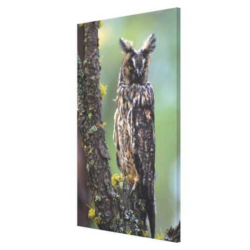A long-eared owl perched on a tree branch near stretched canvas print