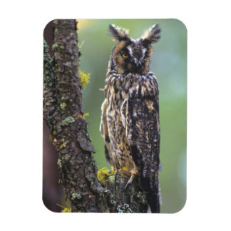 A long-eared owl perched on a tree branch near magnet