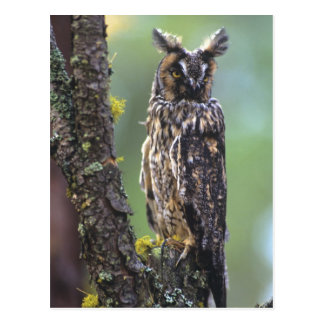 A long-eared owl perched on a tree branch near post cards
