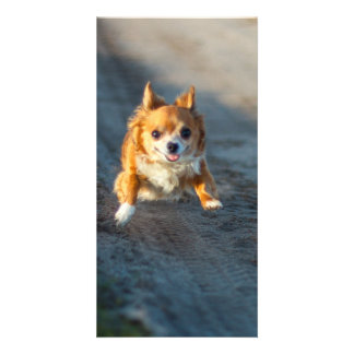 A long haired brown and white Chihuahua Running Card
