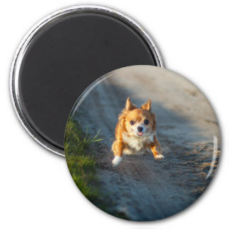 A long haired brown and white Chihuahua Running Magnet