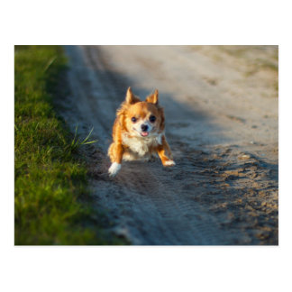 A long haired brown and white Chihuahua Running Postcard