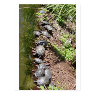 A lot of Turtles Postcard