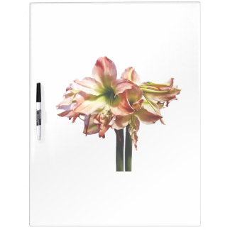 A Lovely Pink and White Amaryllis Dry Erase Board