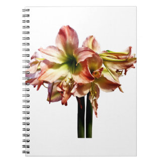 A Lovely Pink and White Amaryllis Spiral Notebook