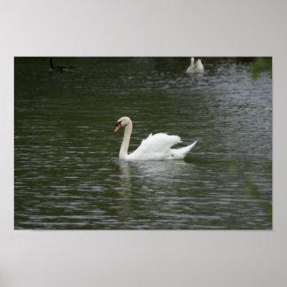 A Lovely White Swan-  Print