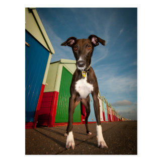 A Lurcher Standing In Front Of Some Beach Huts Postcard